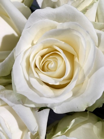 Nos roses blanches